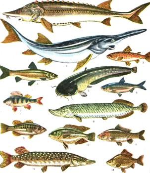 толстолобик морская или речная рыба